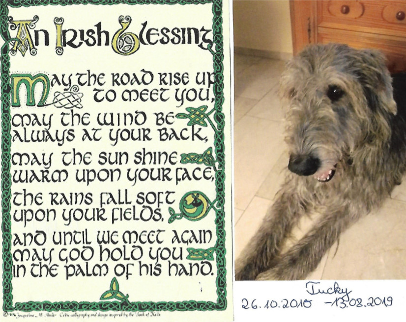 Irish-Wolfhound-Rüde: Tucker