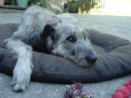 Irish-Wolfhound-Rüde: NORMAN
