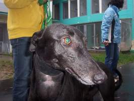 Greyhound-Hündin: TURKETA